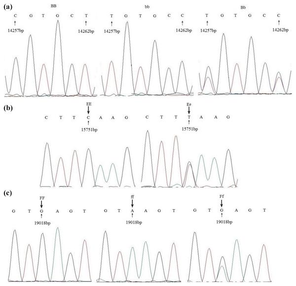 AAB - Association between Fbxl5 gene polymorphisms and